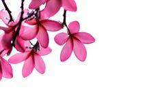 Το ομορφότερο λουλούδι plumeria που ανθίζει tree spa στο λουλούδι, pi Στοκ εικόνες με δικαίωμα ελεύθερης χρήσης