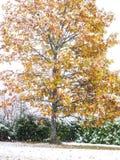 Το δονούμενο δρύινο δέντρο το φθινόπωρο χρωματίζει ταυτόχρονα χιονίζοντας Στοκ Εικόνες