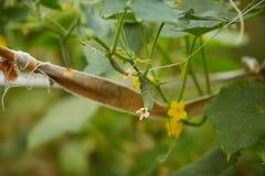 Το οργανικό homegrown πράσινο αγγούρι στοκ εικόνα με δικαίωμα ελεύθερης χρήσης