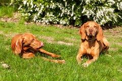 Το ουγγρικό κυνηγόσκυλο βρίσκεται στη χλόη Υπόλοιπο για το κυνήγι Κυνήγι του σκυλιού σε ένα λιβάδι Στοκ Φωτογραφία