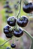 Το λουλάκι αυξήθηκε μαύρη ντομάτα στοκ εικόνες
