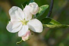 Το λουλούδι δέντρων της Apple με πράσινο βγάζει φύλλα την κινηματογράφηση σε πρώτο πλάνο Στοκ Φωτογραφίες