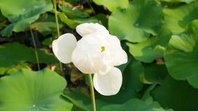 το λουλούδι έχει ι λευκό watercolors εικόνων λωτού ο ίδιος το χρωματισμένο Στοκ Φωτογραφίες