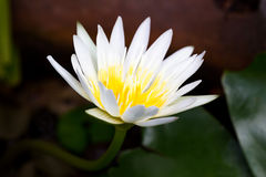 το λουλούδι έχει ι λευκό watercolors εικόνων λωτού ο ίδιος το χρωματισμένο στοκ φωτογραφία