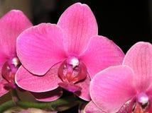 το λουλούδι ανθίζει orchid orchids & Στοκ Εικόνα