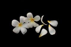 Το λουλούδι απομονώνει, κλειστός επάνω στη δέσμη του plumeria στοκ εικόνες