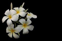 Το λουλούδι απομονώνει, κλειστός επάνω στη δέσμη του plumeria στοκ φωτογραφία με δικαίωμα ελεύθερης χρήσης