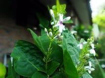 το λουλούδι απομόνωσε το λευκό Στοκ Εικόνα