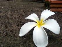 το λουλούδι απομόνωσε το λευκό Στοκ φωτογραφία με δικαίωμα ελεύθερης χρήσης