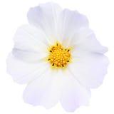 το λουλούδι απομόνωσε &tau Στοκ φωτογραφία με δικαίωμα ελεύθερης χρήσης