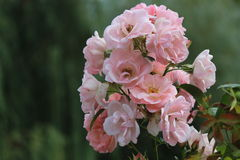 το λουλούδι αυξήθηκε Στοκ Εικόνα