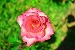 το λουλούδι, αυξήθηκε Στοκ Φωτογραφίες