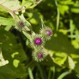 Το λουλούδι βλαστάνει σε ξύλινο Burdock, nemorosum Arctium, μακρο, εκλεκτική εστίαση, ρηχό DOF Στοκ Φωτογραφία