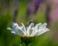 Το λουλούδι γαρίφαλων anf πετά Στοκ εικόνες με δικαίωμα ελεύθερης χρήσης