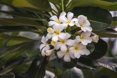Το λουλούδι είναι στο πάρκο Ταϊλάνδη Phuthamonthon Στοκ Εικόνα