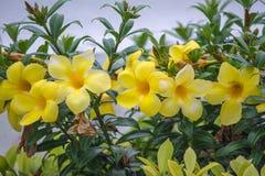 Το λουλούδι είναι στο πάρκο Ταϊλάνδη Phuthamonthon Στοκ Φωτογραφία