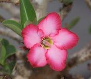 το λουλούδι ερήμων αυξήθηκε Στοκ Φωτογραφίες