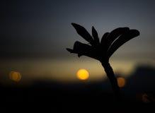 το λουλούδι ερήμων αυξήθηκε Στοκ Φωτογραφία