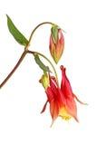 Το λουλούδι και οι οφθαλμοί του άγριου columbine (canadensis Aquilegia) απομονώνουν Στοκ Εικόνα