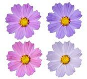 Το λουλούδι κόσμου απομονώνει Στοκ εικόνες με δικαίωμα ελεύθερης χρήσης