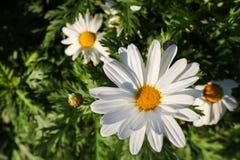 Το λουλούδι μαργαριτών συμβολίζει την αθωότητα, μια πιστή αγάπη και gentlene Στοκ Εικόνα