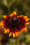 Το λουλούδι μαργαριτών Echibeckia είναι ένας σταυρός μεταξύ Echinacea και Rudbeck Στοκ Φωτογραφία