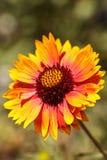 Το λουλούδι μαργαριτών Echibeckia είναι ένας σταυρός μεταξύ Echinacea και Rudbeck Στοκ φωτογραφία με δικαίωμα ελεύθερης χρήσης