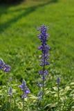το λουλούδι με ξεχνά όχι Στοκ Φωτογραφίες