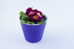 Το λουλούδι με τα ιώδη πέταλα αυξάνεται στο πορφυρό πλαστικό δοχείο στο άσπρο υπόβαθρο Στοκ φωτογραφία με δικαίωμα ελεύθερης χρήσης
