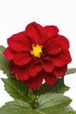 το λουλούδι νταλιών ανα&si Στοκ φωτογραφίες με δικαίωμα ελεύθερης χρήσης