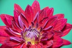 το λουλούδι νταλιών απο& Μακροεντολή, που απομονώνεται σε πράσινο Στοκ εικόνα με δικαίωμα ελεύθερης χρήσης