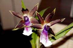 Το λουλούδι ορχιδεών Στοκ εικόνα με δικαίωμα ελεύθερης χρήσης