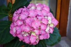 το λουλούδι πράσινο βγάζει φύλλα το ροζ Στοκ εικόνα με δικαίωμα ελεύθερης χρήσης