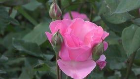 το λουλούδι ρόδινο αυξήθηκε απόθεμα βίντεο