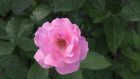 το λουλούδι ρόδινο αυξήθηκε φιλμ μικρού μήκους