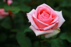 το λουλούδι ρόδινο αυξήθηκε Στοκ εικόνες με δικαίωμα ελεύθερης χρήσης