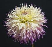 Το λουλούδι της ντάλιας Στοκ Εικόνες
