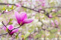 Το λουλούδι του δέντρου magnolia καλλιεργεί την άνοιξη στοκ εικόνες με δικαίωμα ελεύθερης χρήσης