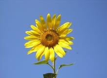 Το λουλούδι του ήλιου είναι ηλίανθος Φωτεινός κίτρινος ηλίανθος ενάντια στον ουρανό Στοκ Εικόνες