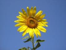 Το λουλούδι του ήλιου είναι ηλίανθος Φωτεινός κίτρινος ηλίανθος ενάντια στον ουρανό Στοκ Φωτογραφία