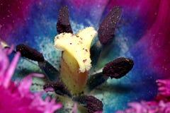 Το λουλούδι τουλιπών Στοκ Εικόνα