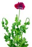 το λουλούδι φαρμάκων ανασκόπησης δεν απομόνωσε κανένα λευκό παπαρουνών Στοκ εικόνες με δικαίωμα ελεύθερης χρήσης