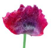 το λουλούδι φαρμάκων ανασκόπησης δεν απομόνωσε κανένα λευκό παπαρουνών Στοκ Φωτογραφίες