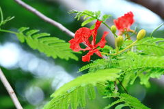 Το λουλούδι φλογών Στοκ Φωτογραφίες