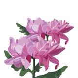 το λουλούδι χρυσάνθεμ&omega Στοκ φωτογραφία με δικαίωμα ελεύθερης χρήσης