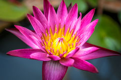 Το λουλούδι λωτού Στοκ Φωτογραφία