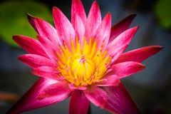 Το λουλούδι λωτού Στοκ φωτογραφία με δικαίωμα ελεύθερης χρήσης