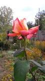 Το 1 λουλούδι Στοκ Εικόνα