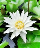 το λουλούδι Bhuddha Στοκ φωτογραφίες με δικαίωμα ελεύθερης χρήσης