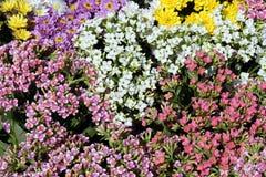 Το λουλούδι cockscomb ή argentea Celosia Στοκ φωτογραφία με δικαίωμα ελεύθερης χρήσης